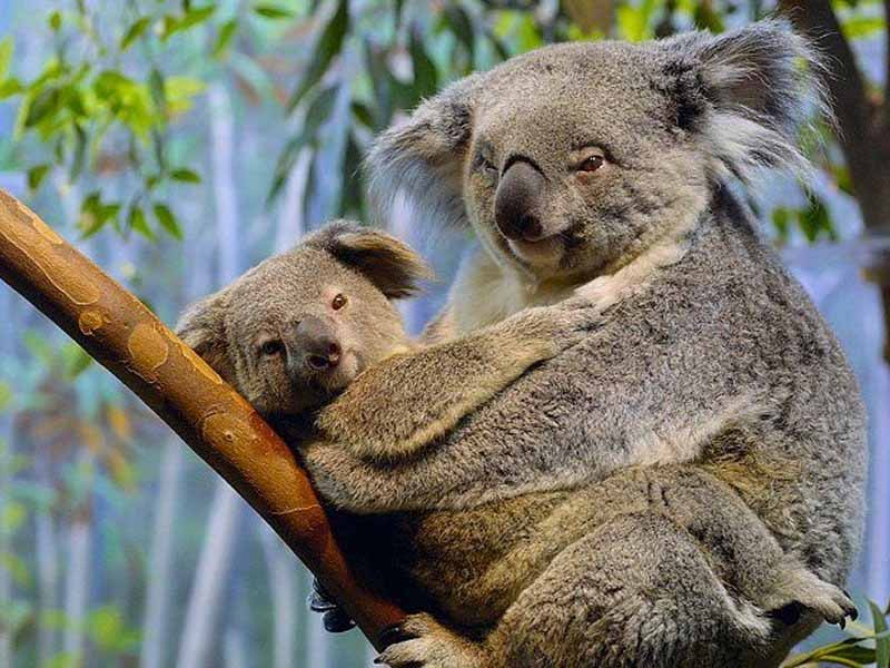picture of koalas