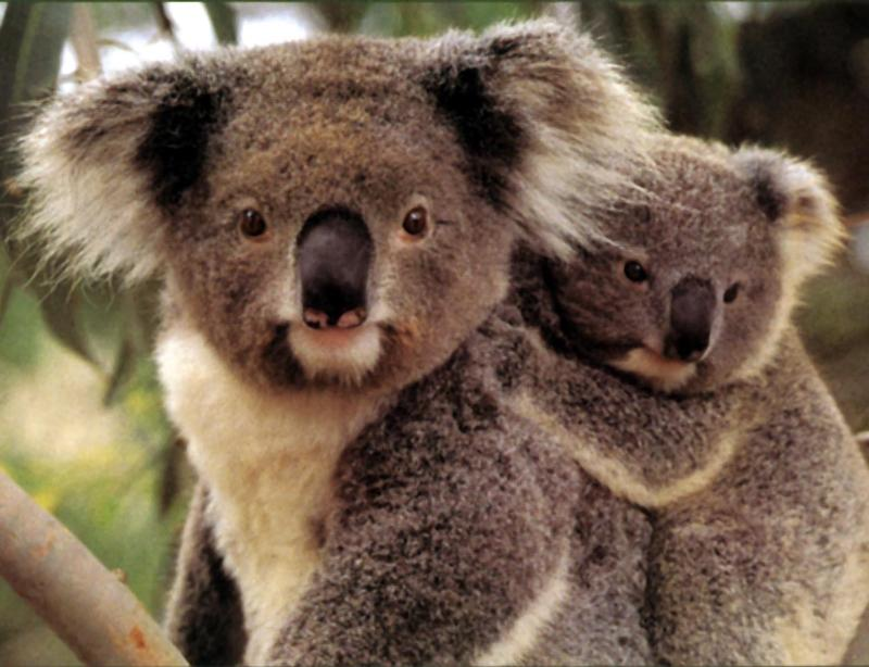 photo of a pair of koalas