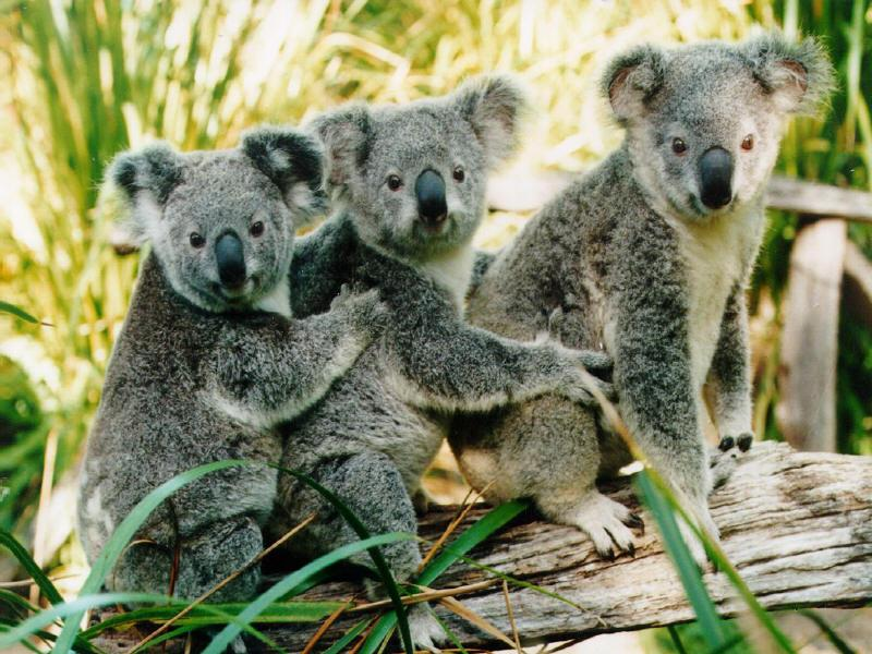 photo of three koalas