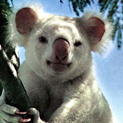 picture of an albino koala